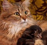 Симпатичный сибирский кот Стоковое фото RF