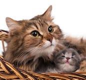 Симпатичный сибирский кот Стоковые Изображения RF