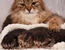 Симпатичный сибирский кот Стоковые Изображения