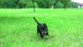 Симпатичный темный щенок бежать к камере сток-видео