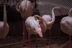 Симпатичный фламинго ослабляет и прихорашивается Стоковые Фото