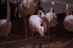 Симпатичный фламинго ослабляет и прихорашивается Стоковое Изображение RF