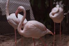 Симпатичный фламинго ослабляет и прихорашивается Стоковое Фото