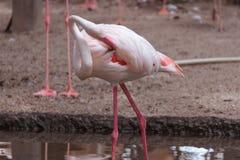 Симпатичный фламинго ослабляет и прихорашивается Стоковое фото RF