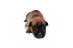 Симпатичный щенок в неделе 2 Стоковое Фото