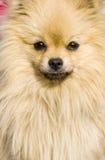 симпатичный щенок Стоковое Изображение RF