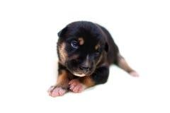 симпатичный щенок Стоковые Изображения RF
