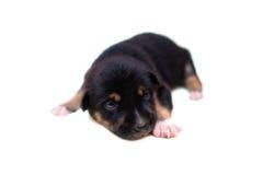 симпатичный щенок Стоковое Изображение