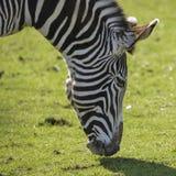 Симпатичный Equus Grevyi зебры ` s Grevy пася в сочной зеленой расчистке Стоковая Фотография
