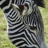 Симпатичный Equus Grevyi зебры ` s Grevy пася в сочной зеленой расчистке Стоковое Изображение