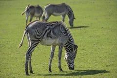 Симпатичный Equus Grevyi зебры ` s Grevy пася в сочной зеленой расчистке Стоковое Изображение RF