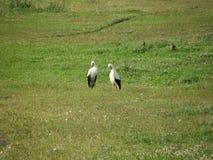 2 симпатичных аиста принимают cear около Стоковые Фотографии RF