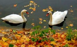 2 симпатичных лебедя Стоковая Фотография