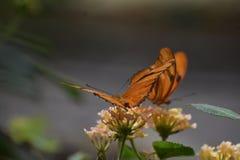 2 симпатичных оранжевых бабочки рябчика залива в природе Стоковое Изображение