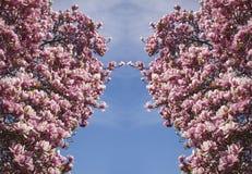 Симфонизм цветения магнолии стоковые фото