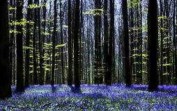 симфонизм bluebell Стоковые Фотографии RF