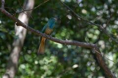 Сине-бородатый Пчел-едок на ветви в природе Стоковая Фотография