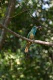 Сине-бородатый Пчел-едок на ветви в природе Стоковое Изображение