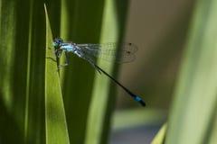 Сине-замкнутая красотка (elegans Ischnura) Стоковые Фото