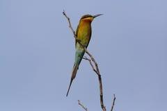 Сине-замкнутый Пчел-едок, красочная птица на ветви Стоковые Изображения