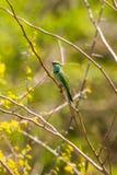 Сине-замкнутый пчел-едок садить на насест на ветви дерева Стоковое фото RF