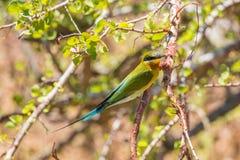 Сине-замкнутый пчел-едок садить на насест на ветви дерева Стоковые Фотографии RF