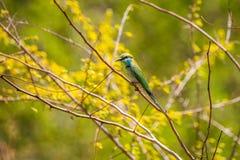 Сине-замкнутый пчел-едок садить на насест на ветви дерева Стоковое Изображение RF