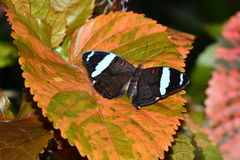 Сине-замороженная бабочка знамени Стоковое Фото