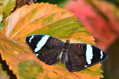 Сине-замороженная бабочка знамени Стоковая Фотография RF