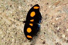 Сине-замороженная бабочка знамени Стоковое фото RF