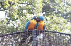 Сине-и-желтое ararauna Ara ары на дереве есть манго Стоковые Фотографии RF