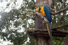 Сине-и-желтое ararauna Ara ары на дереве есть манго Стоковое Изображение