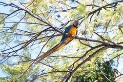 Сине-и-желтое ararauna Ara ары на дереве есть манго Стоковые Изображения