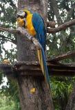 Сине-и-желтое ararauna Ara ары на дереве есть манго Стоковое Изображение RF