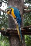 Сине-и-желтое ararauna Ara ары на дереве есть манго Стоковые Фото