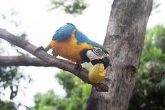 Сине-и-желтое ararauna Ara ары на дереве есть манго Стоковая Фотография