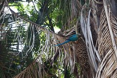 Сине-и-желтое ararauna Ara ары на дереве есть манго Стоковое фото RF