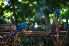 Сине-и-желтый попугай ары сидя на ветви и смотря камеру с много другими попугаями на предпосылке Стоковое Изображение RF