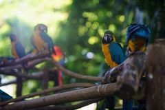 Сине-и-желтый попугай ары сидя на ветви и смотря камеру с много другими попугаями на предпосылке Стоковая Фотография