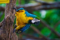 Сине-и-желтый попугай ары сидя на ветви и смотря камеру Стоковое фото RF