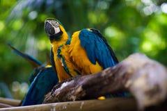 Сине-и-желтый попугай ары сидя на ветви и смотря камеру Стоковые Изображения RF