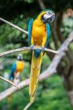 Сине-и-желтая ара на завтрак-обеде дерева Стоковое Изображение RF