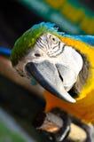 Сине-и-желтая ара Стоковое Изображение RF