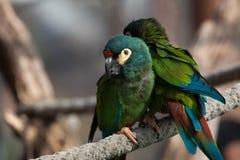 Сине-подогнали ара (maracana Primolius), также известная как Illige стоковые фото