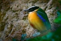 Сине-подогнали Pitta, moluccensis Pitta, в красивой среде обитания природы, Индонезия Редкая птица в зеленой вегетации Животное о Стоковое Изображение RF