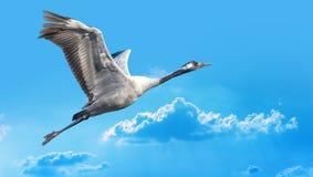Сине-серое летание птицы против голубого неба Стоковые Изображения RF