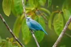 Сине-серый tanager на ветви в зеленой вегетации Сцена живой природы от зеленой среды обитания леса, птицы сидя на ветви Перемещен Стоковое фото RF