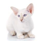 Сине-точечный портрет сиамского кота Стоковое Изображение RF