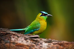 Сине-увенчанное momota Motmot, Momotus, портрет славной зеленой и желтой птицы, одичалой природы, животного в среду обитания леса Стоковые Фото