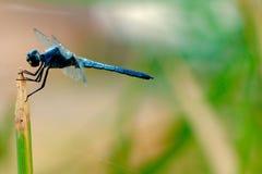 Сине--Dasher Dragonfly Стоковое Изображение